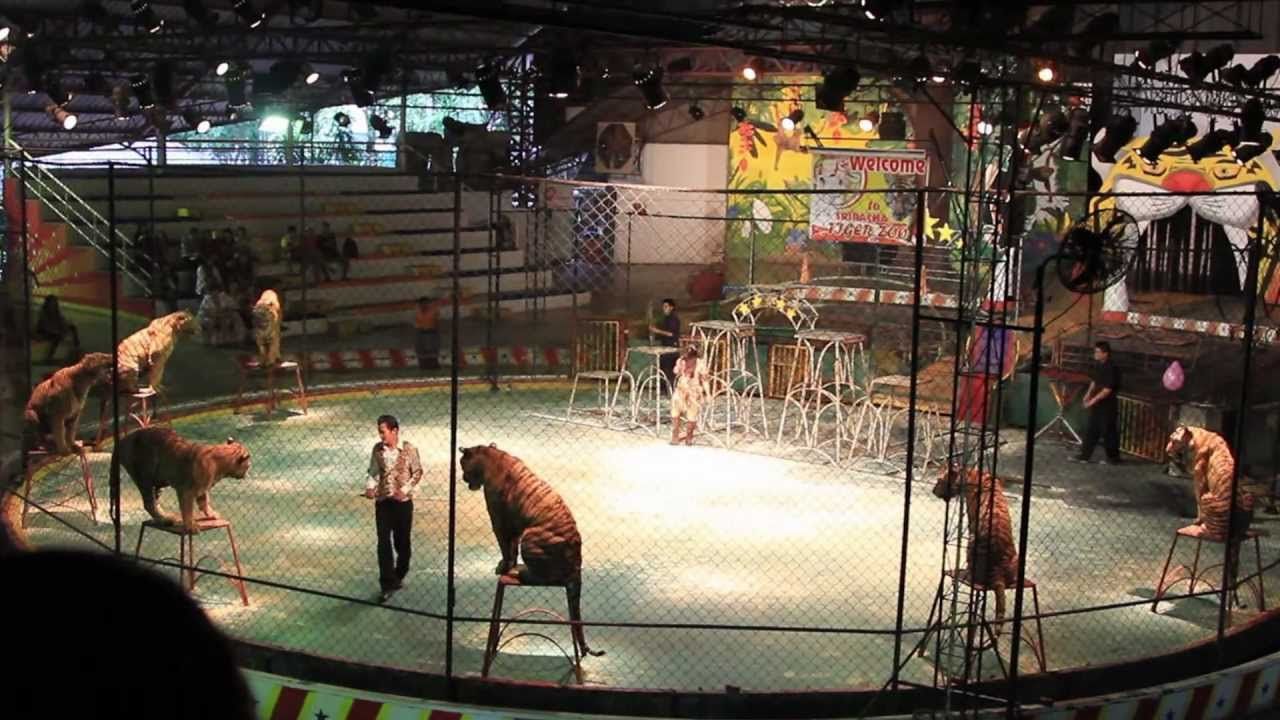 Tiger Zoo, Thailand, Pattaya - YouTube