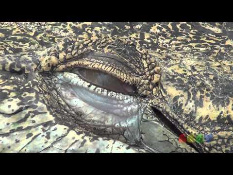악어 눈 ( Saltwater Crocodile Eyes )