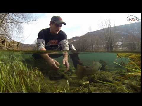 releasing brown trout
