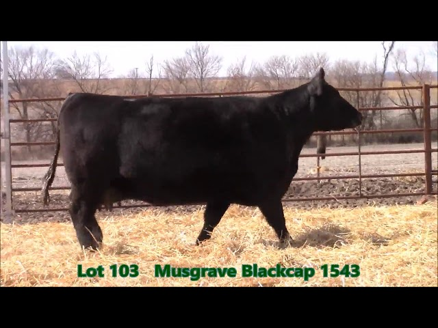 Musgrave Angus Lot 103