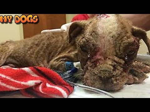 Rescue a Boston Terrier Puppy Found Covered In Maggots Is Almost Unrecognizable Now