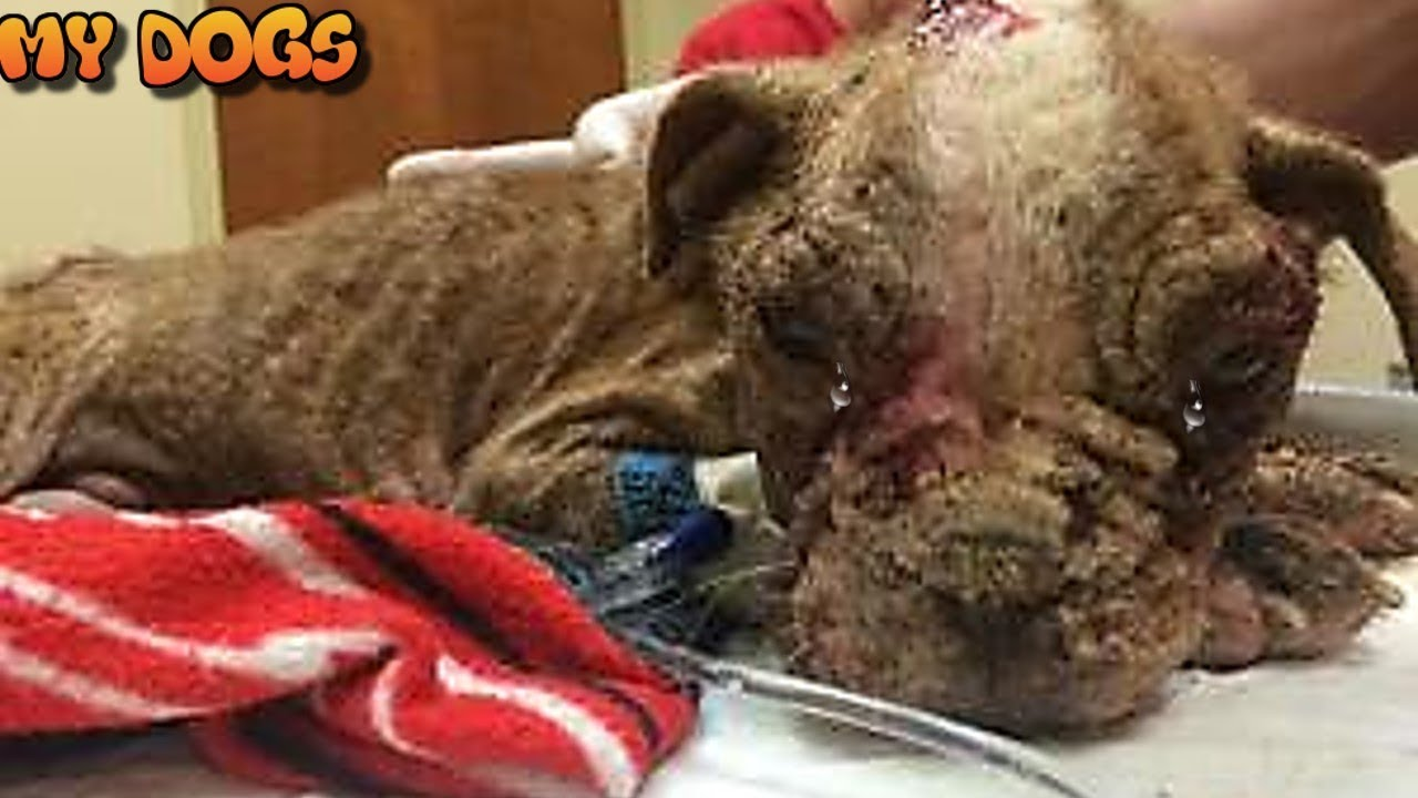 Rescue A Boston Terrier Puppy Found Covered In Maggots Is Almost