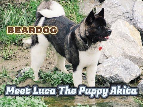 Akita Puppies Grow Too Quick 14lb to 87lbs.