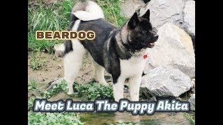 Akita Puppies Grow Too Quick 14lb to 87lbs.