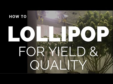 Lollipoping Cannabis: (How To Lollipop for Greater Yield, Quality, and Air Flow)