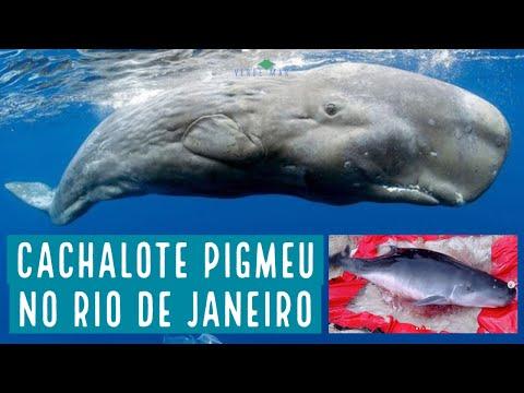 Registro raro de cachalote pigmeu no Rio de Janeiro
