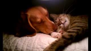 Beagle and Cat Friendship