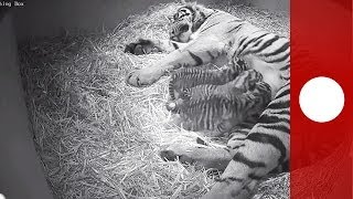 Rare newborn Sumatra tiger cubs filmed in London zoo - hidden camera footage