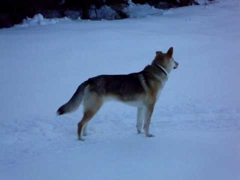 coyote german shepherd coydog youtube