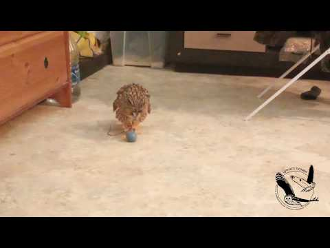 Ушастая сова играет с мячиком, осторожно курочка! - Long-eared Owl Playing With A Ball