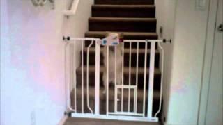 Hilarious Pomeranian Chihuahua Opens Carlson Walk-through Pet Gate