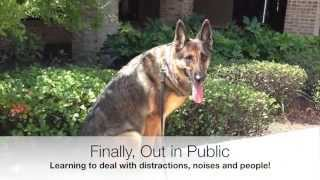 German Shepherd Dog Training, Fear Aggression, Violet B4 And After