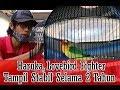 Suara Burung Haruka Lovebird Fighter Tampil Stabil Selama  Tahun Pola Perawatan  Mp3 - Mp4 Download