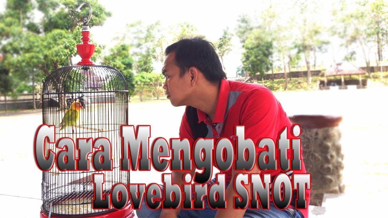 820+ Foto Gambar Burung Lovebird Kena Snot HD Paling Keren