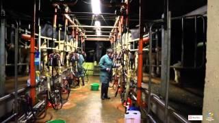 Reymilk : un dispositif innovant pour identifier les vaches en salle de traite !