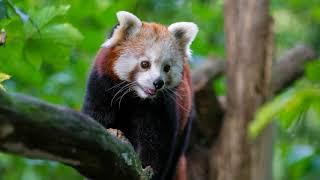 Рыжая панда 60 фото!/60 photos of red panda!
