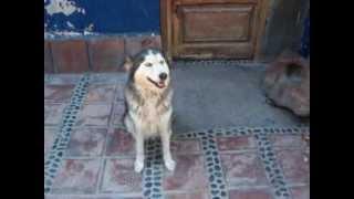 perro cruce siberiano
