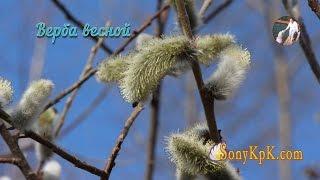 Верба весной. Картинки вербы весной фото и видео от SonyKpK & Petr de Cril'on