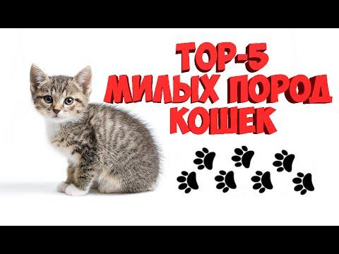 ТОП -5 САМЫХ МИЛЫХ ПОРОД КОШЕК