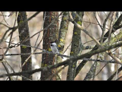 Песня пухляка, или буроголовой гаички Parus Montanus / Willow Tit Song