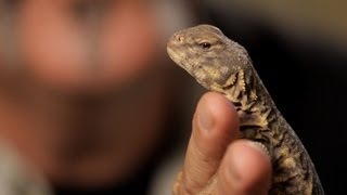 4 Care Tips for Spiny-Tailed Lizards | Pet Reptiles