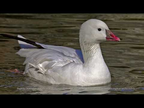 Arctic habitat damaged by Snow Geese
