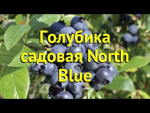 Голубика садовая Норд Блю. Краткий обзор, описание характеристик vaccinium corymbosum North Blue