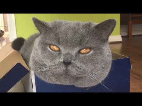 Coconut. Blue British Shorthair. Cheshire cat.