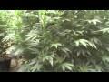 Medical Marijuana Grow Greenhouse