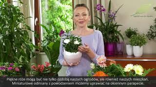 Kwiaty Doniczkowe Roze Gerbery I Wilczomlecze Jak Dbac O Te Rosliny Domowe Youtube