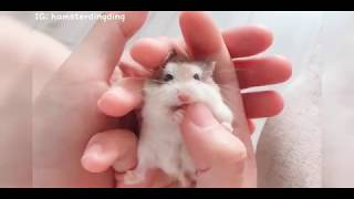 Hamsterdingding.呆在手上的小路寶.倉鼠.小露寶.小路寶.老公公鼠
