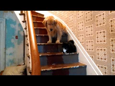 Golden Retriever Refuses To Pass Cat On The Stairs, Because Evil