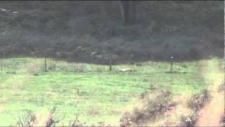 904 yard fallow deer long range shooting 7mm rem mag