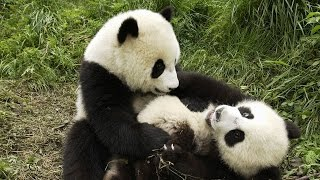 Panda Playing With His New Girlfriend...Cute Giant Panda