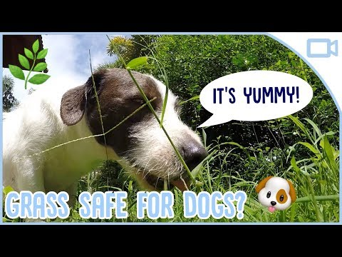 is-grass-safe-for-dogs-to-eat?