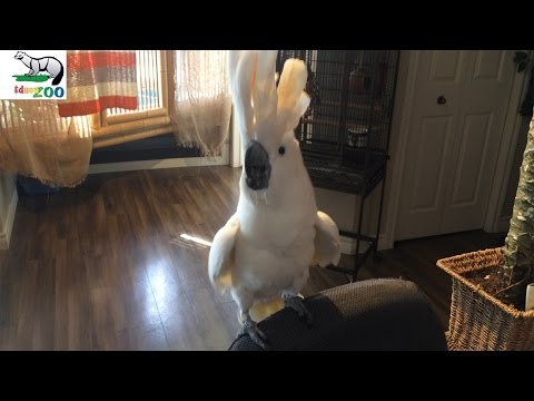 Cockatoo Dancing and singing to Barney (Talking Parrot)