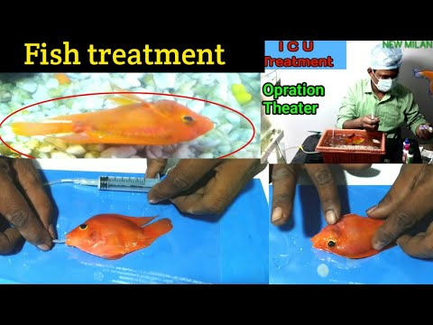 Very Serious Aquarium Fish Treatment | Parrot Fish Disease, Treatment & Operation | MILAN AQUARIUM