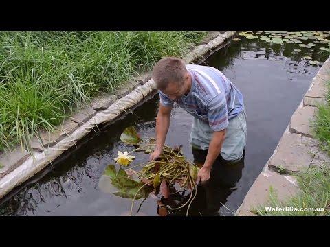 Посадка водяной лилии в пруд вариант (USA) американка с голой корневой
