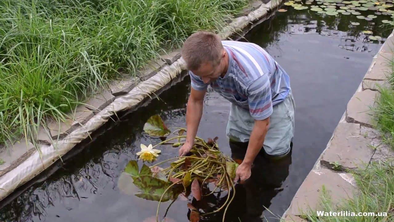 Купить семена лотоса водяной лилии оптом из китая. Товары напрямую с завода-производителя на alibaba. Com.