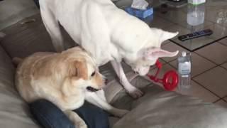 ミックス犬マル,ビスコ,ホワイトボクサー,室内で遊ぶ大型犬,かわいい犬,...