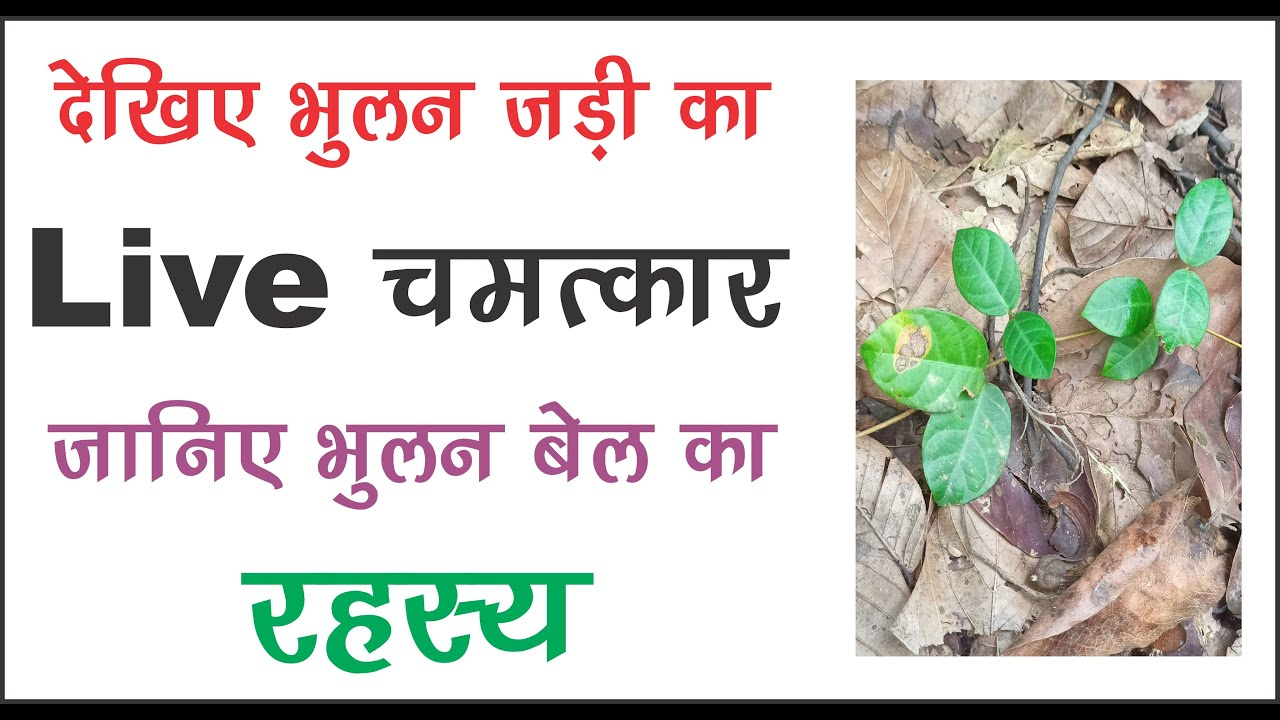 देखिए भूलन जड़ी का लाइव चमत्कार powerful netural plant bhulan bel