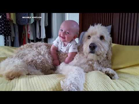 Baby boy desperately tries to nap on his big, fluffy goldendoodle