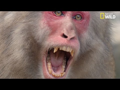 Un Mâle Macaque Japonais Attaque Une Femelle