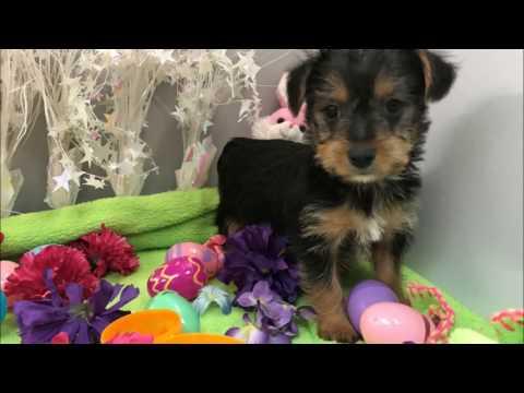 Female Yorkshire Terrier Puppy