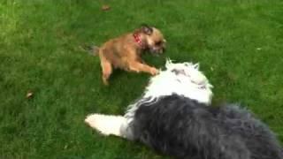 Border Terrier Beats Up Old English Sheepdog