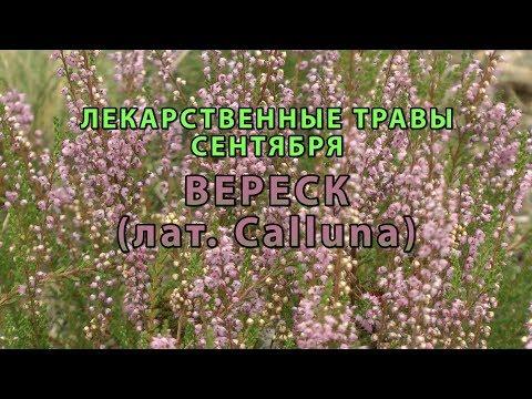 """Лекарственные растения сентября """"Вереск"""""""