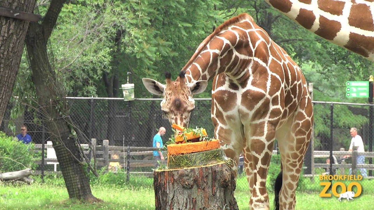 Brookfield Zoo Celebrates World Giraffe Day Youtube