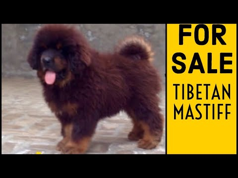Tibetan mastiff puppy for sale in India // 9555944924 ( Best Price