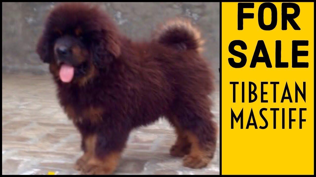 Lion Head Tibetan Mastiff Puppies For