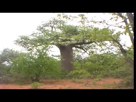Musina nature reserve, South Africa - Baobab trees